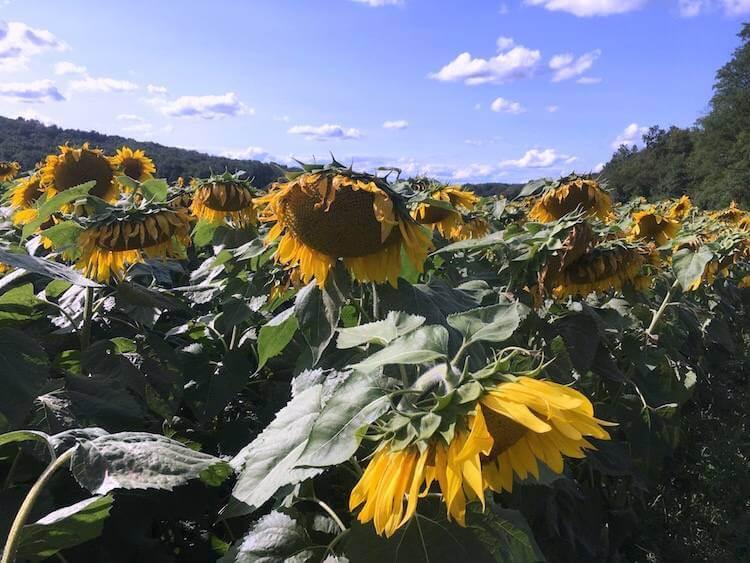 Hudson Valley Sunflower Oil Tour